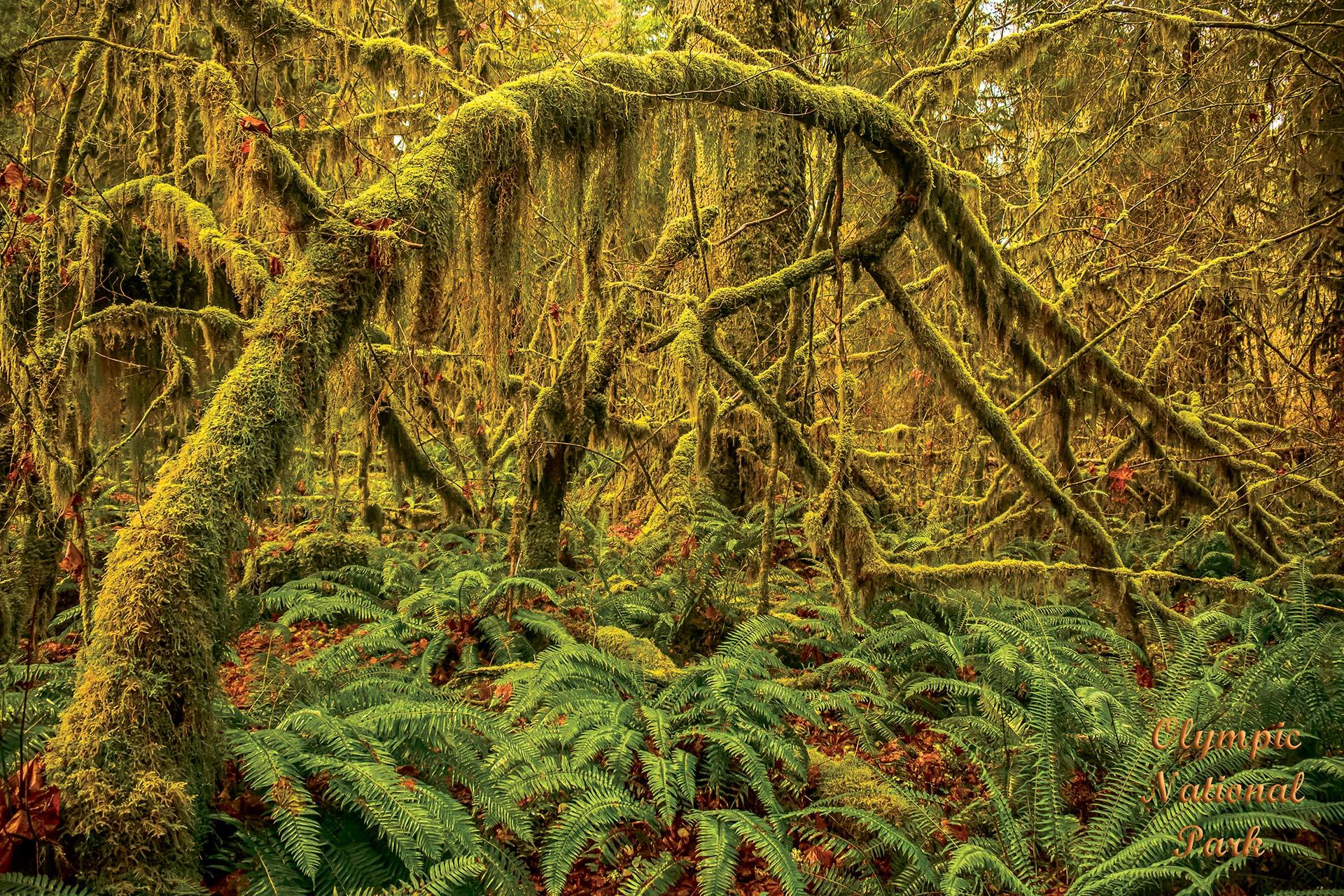 21048 Olympic Hoh Rainforest web